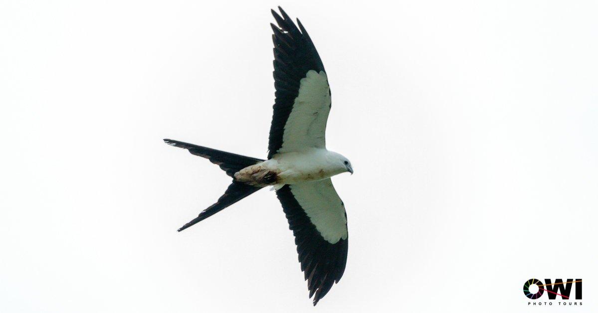 Swallow-tailed Kite / Schwalbenweih / Elanio Tijereta (Elanoides forficatus)