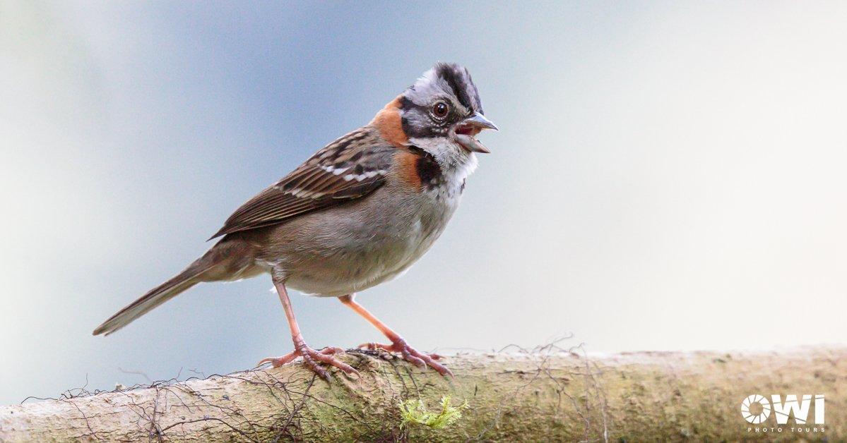 Rufous-collared Sparrow / Morgenammer / Chingolo (Gorrión Criollo) (Zonotrichia capensis)