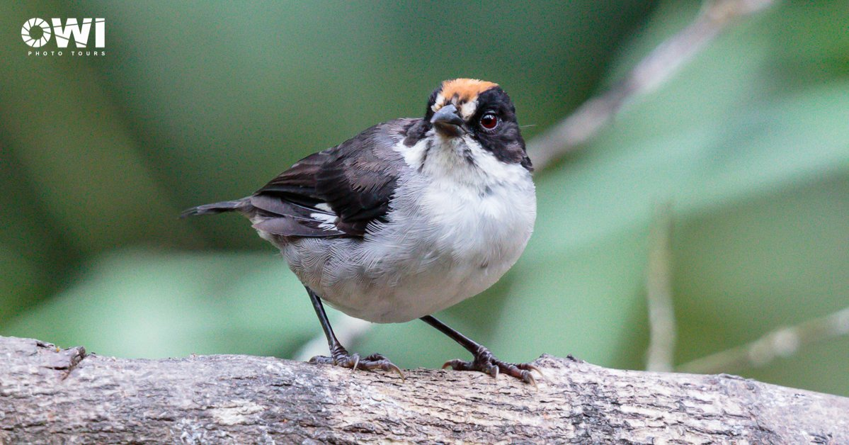 White-winged Brushfinch / Spiegelbuschammer / Matorralero Aliblanco (Atlapetes leucopterus)
