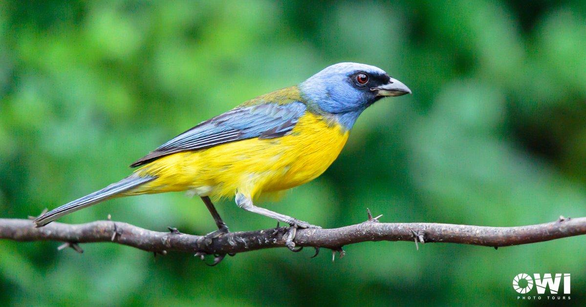 Blue-and-yellow Tanager / Furchentangare / Tangara Azuliamarilla (Pipraeidea bonariensis)