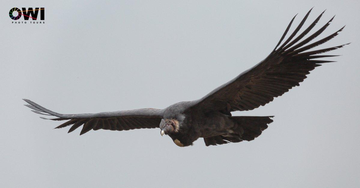 Andean Condor / Andenkondor / Cóndor Andino (Vultur gryphus)